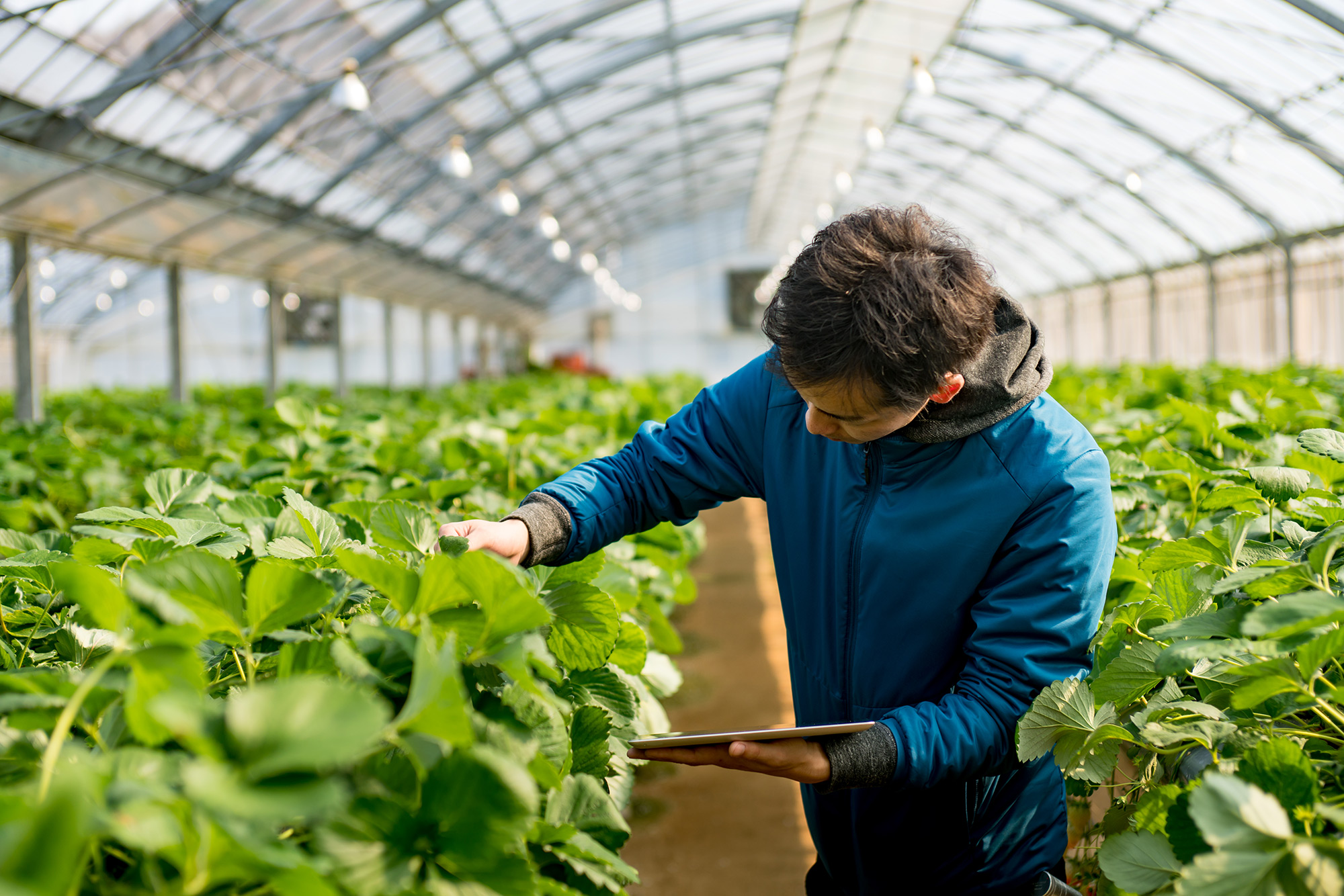 Greenhouse Worker with Tablet